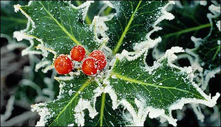 Songs of the Season: The Holly and the Ivy